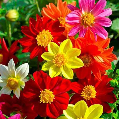 A close up square image of red, pink, white, and yellow Mignon dahlia flowers pictured in bright sunshine.