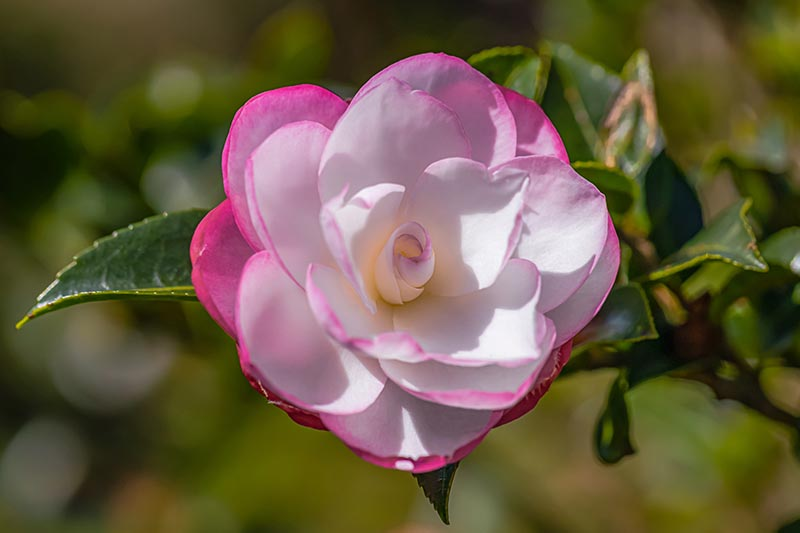 A close up horizontal image of a bicolored pink and white 'Moonshadow' camellia flower pictured in light sunshine on a soft focus background.