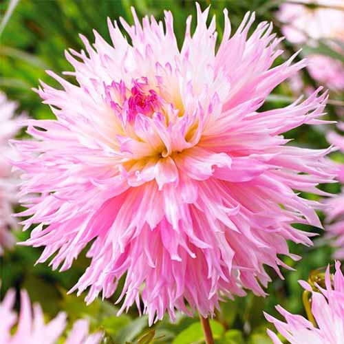 A close up square image of a bright pink 'Nadia Ruth' dahlia flower pictured on a soft focus background.
