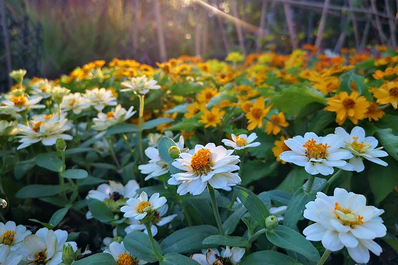 A horizontal image of orange and white zinnia flowers pictured in evening sunshine.