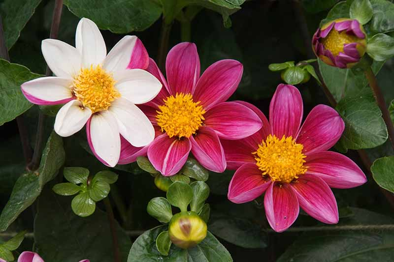 A close up horizontal image of Novelty dahlia flowers in pink and white, growing in the garden pictured on a dark background.