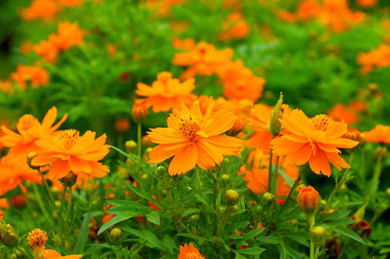 A close up horizontal image of orange flowers growing in the garden.