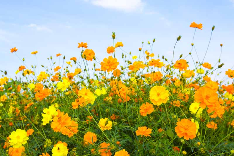A close up horizontal image of orange and yellow flowers growing in a wildflower garden with a blue sky background.