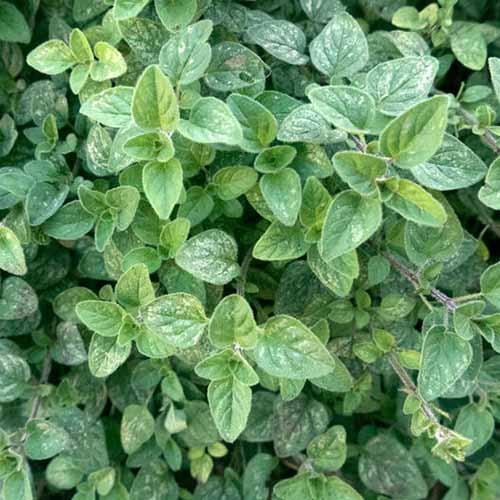 A close up square image of Green oregano (Origanum vulgare var. hirtum) growing in the garden.