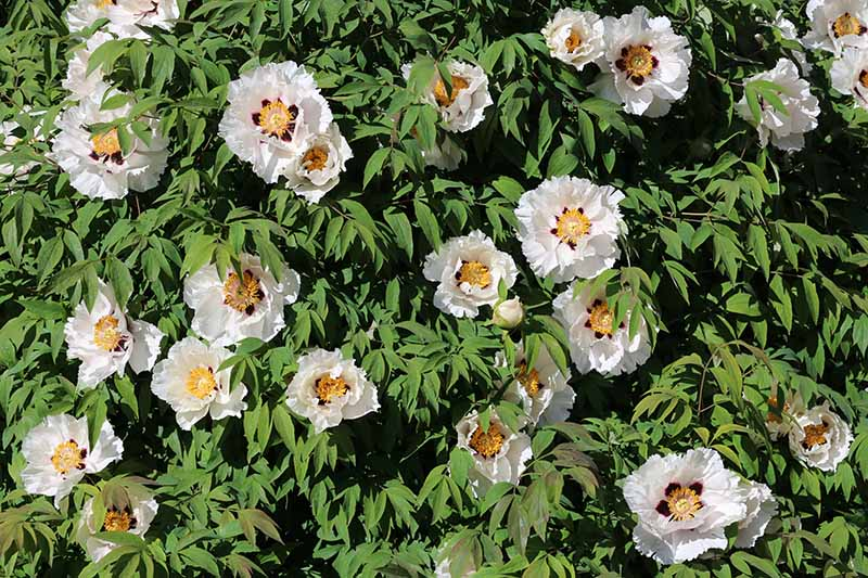 A close up horizontal image of Paeonia rockii with white flowers and yellow centers growing in the garden pictured in bright sunshine.