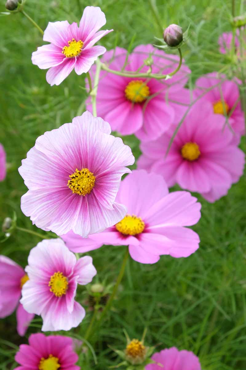 A close up vertical image of bright pink 'Daydream' flowers growing in the garden.