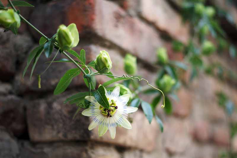 A close up horizontal image of a passionflower vine growing on a brick wall.