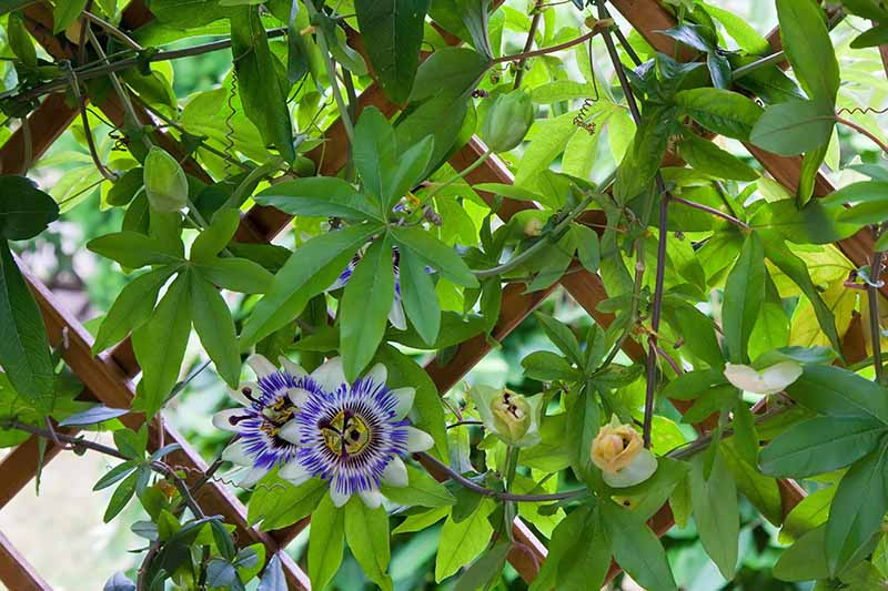 A close up horizontal image of a Passiflora vine growing on a wooden trellis.