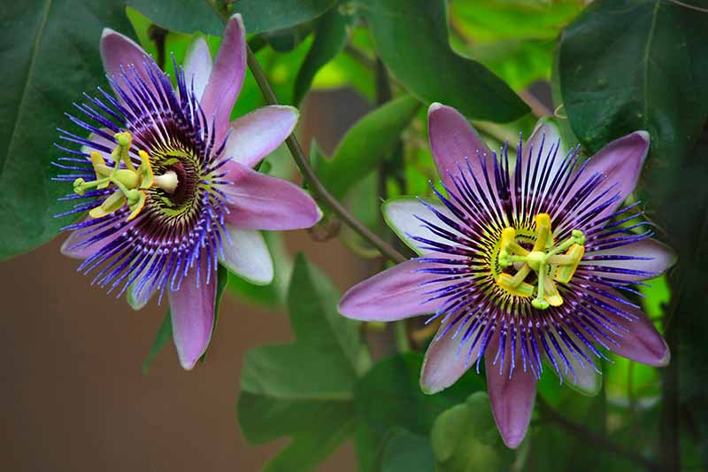 A close up horizontal image of two Passiflora flowers growing in the garden pictured on a soft focus background.