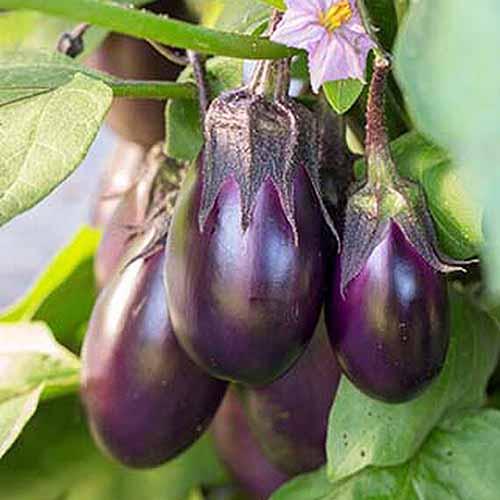 A close up square image of Solanum melongena 'Patio Baby' fruits ready to harvest.
