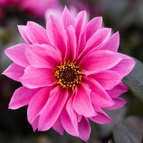 A close up square image of a pink peony-flowered dahlia 'Fascination' flower pictured on a soft focus background.