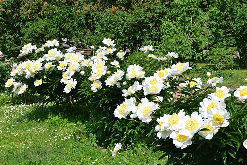 A horizontal image of a garden bed planted with bright yellow and white Paeonia flowers with a hedge in soft focus in the background.