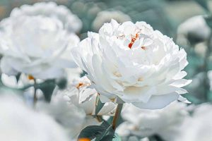 Understanding Different Types of Peony Flowers