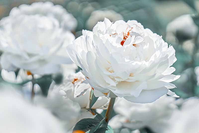 A close up horizontal image of white peonies growing in the garden pictured on a soft focus background.
