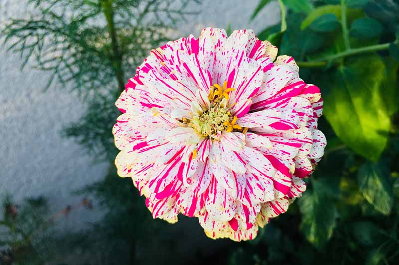 A close up horizontal image of a white and pink bicolored 'Peppermint Stick' zinnia flower growing in the garden.