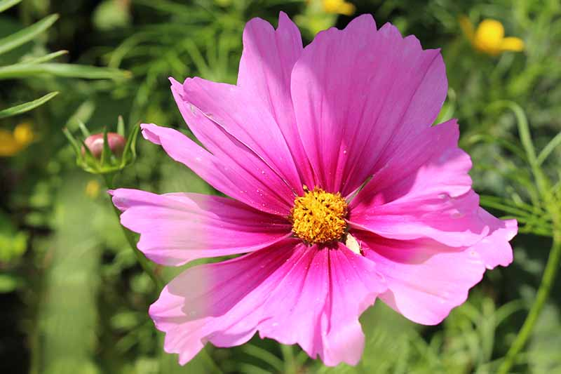 A close up horizontal image of a bright pink cosmos flower growing in the garden pictured in light sunshine on a soft focus background.
