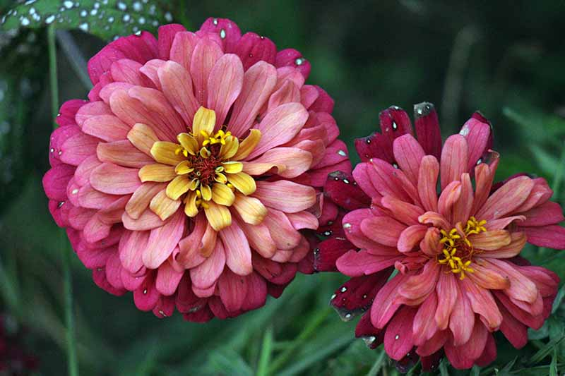 A close up horizontal image of pink double petalled zinnia flowers pictured on a soft focus background.