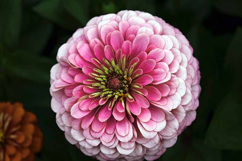 A close up horizontal image of a pink double petaled flower pictured on a dark soft focus background.