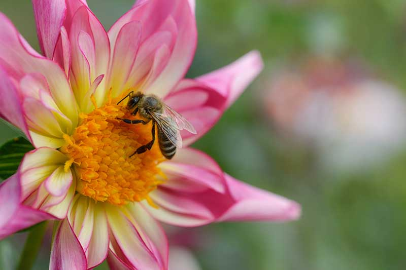 A close up horizontal image of a bee feeding from the pollen of a pink Orchette dahlia flower pictured on a soft focus background.