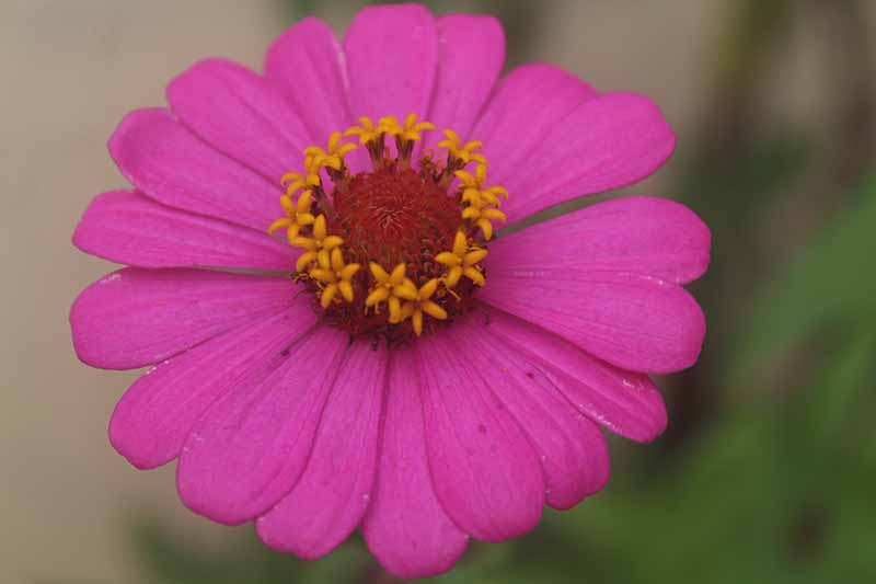 A close up horizontal image of a bright pink z. elegans flower pictured on a soft focus background.