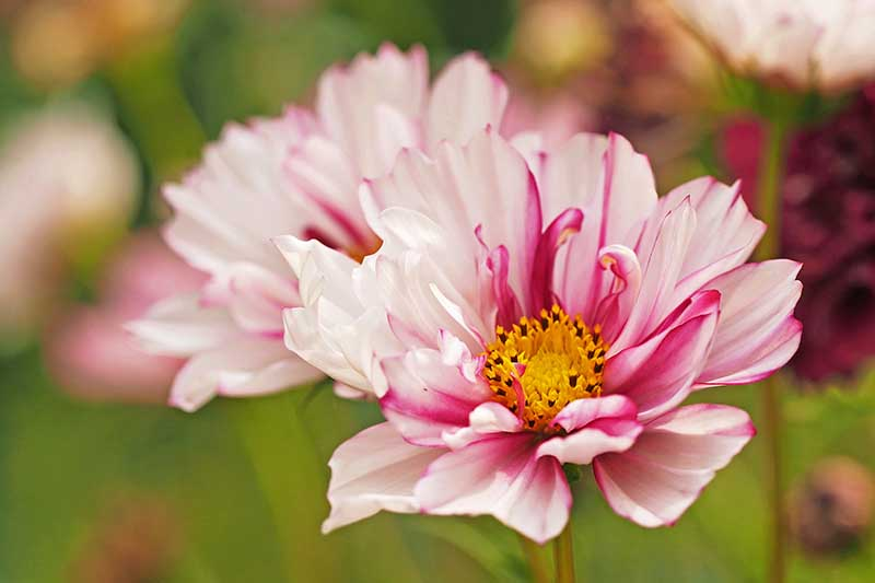 A close up horizontal image of pink and white cosmos flowers pictured on a soft focus background.