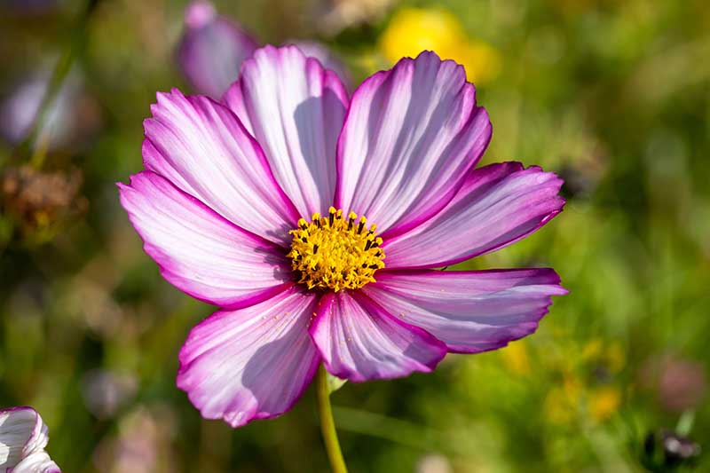 A close up horizontal image of a pink and white bicolored 'Candy Stripe' cosmos flower pictured in light sunshine on a soft focus background.