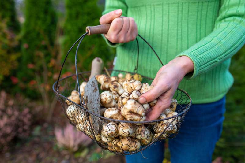 A woman holds a basket containing Jerusalem artichoke tubers and a hand trowel.