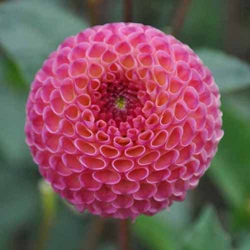 A close up square image of a pompon dahlia flower 'Burlesca' pictured on a soft focus background.