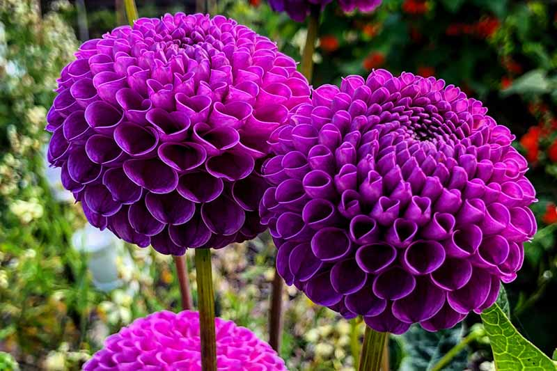 A close up horizontal image of deep purple pompon dahlia flowers growing in the garden pictured on a soft focus background.