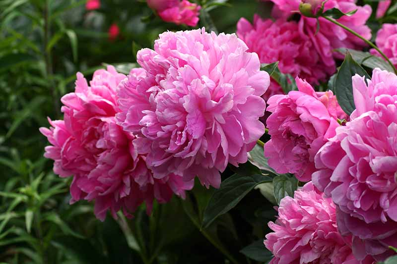 A close up horizontal image of bright pink peony flowers growing in the garden pictured on a soft focus background.