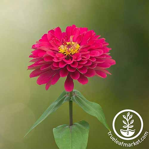 A close up square image of a bright red 'Profusion' zinnia flower pictured on a soft focus background. To the bottom right of the frame is a white circular logo with text.