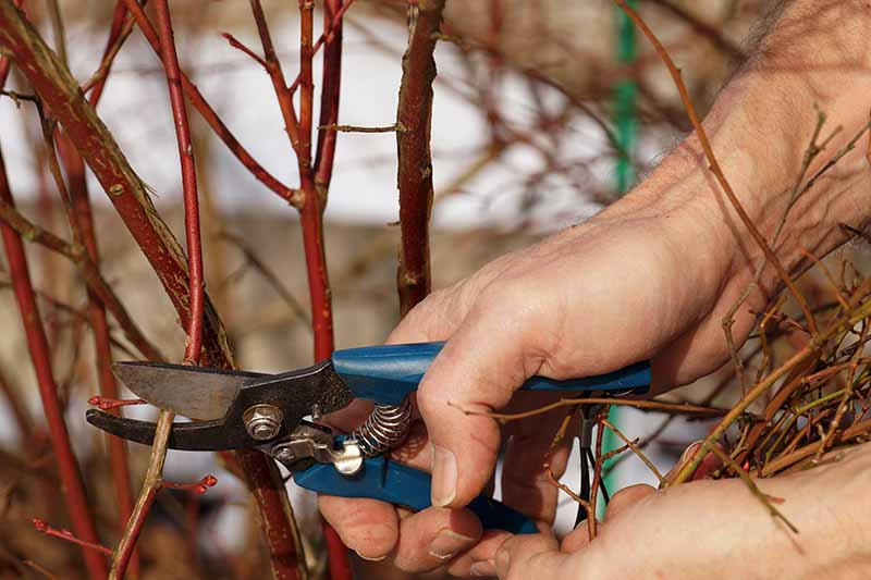 A close up horizontal image of two hands from the right of the frame holding pruning shears and snipping off branches of a shrub.