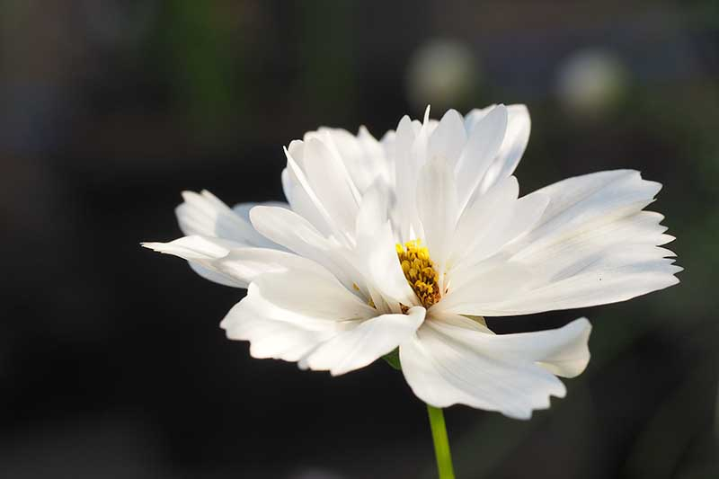 A close up horizontal image of a 'Psyche White' cosmos flower pictured on a dark soft focus background.