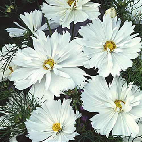 A close up square image of 'Purity White' flowers growing in the garden.