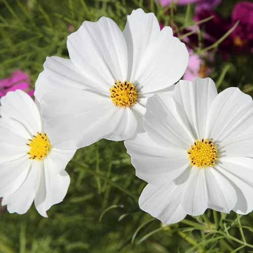 A close up square image of 'Purity' cosmos flowers growing in the garden.