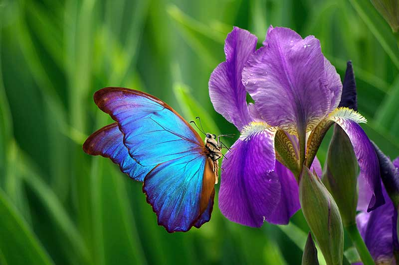 A close up horizontal image of a purple and yellow iris flower with a bright blue butterfly.