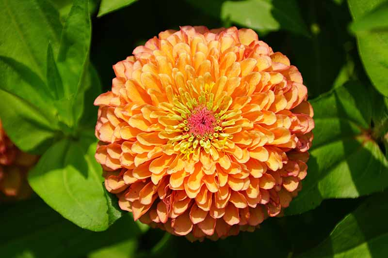 A close up horizontal image of a bright orange 'Queeny Lime Orange' zinnia flower pictured in bright sunshine with foliage in soft focus in the background.
