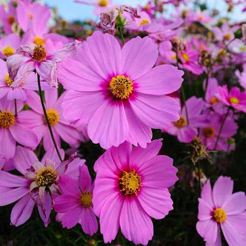 A close up square image of bright pink 'Radiance' flowers growing in the garden.