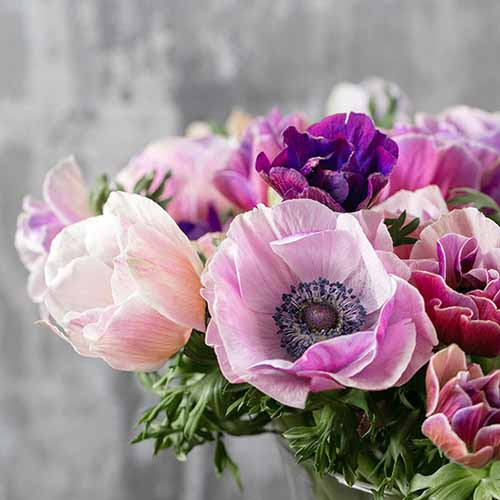 A close up square image of a bouquet of Rainbow Pastel anemones in a vase pictured on a soft focus background.