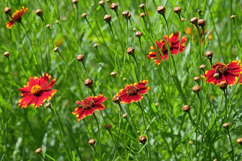 A close up horizontal image of bright red coreopsis flowers growing in a meadow pictured in bright sunshine.