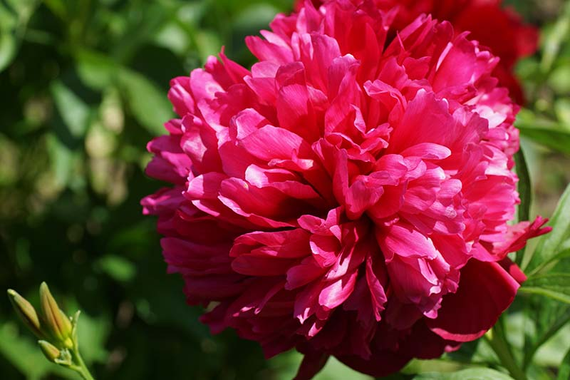 A close up horizontal image of a bright red peony flower 'Red Grace' growing in the summer garden pictured in bright sunshine.