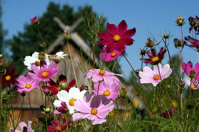A close up horizontal image of red, pink, and white cosmos flowers growing in a meadow with a house and blue sky in the background.
