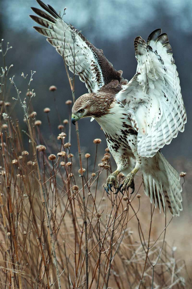 A close up vertical image of a red-tailed hawk hunting in the winter landscape.