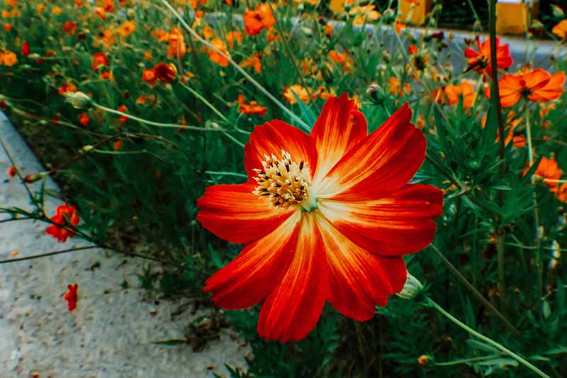 A horizontal image of a border planted with bright red Cosmos sulphureus flowers.