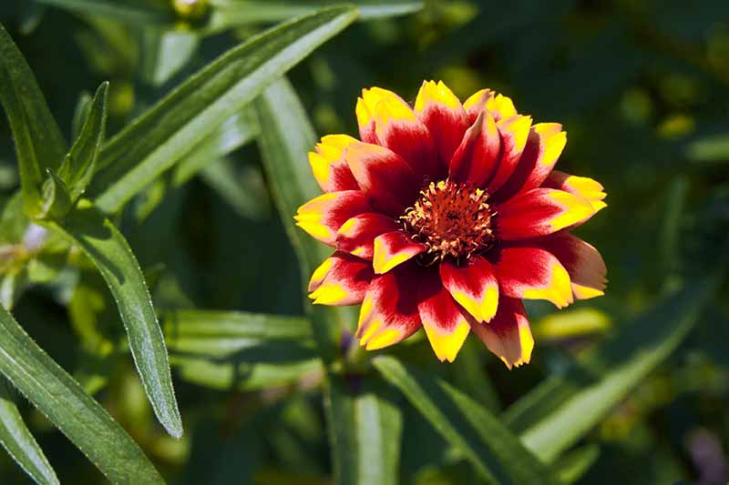 A close up horizontal image of a red and white Mexican zinnia flower growing in the garden pictured in bright sunshine on a soft focus background.