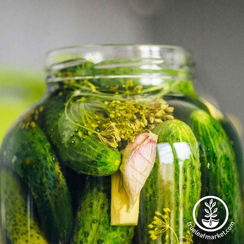 A close up square image of 'Rhinish Pickle' cucumbers in a jar with herbs pictured on a soft focus background.