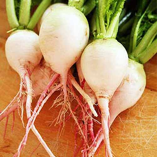 A close up square image of 'Rido Red' radishes set on a wooden surface.