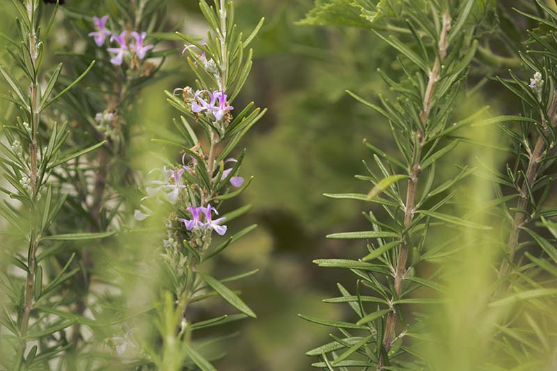 A close up horizontal image of the foliage and small pink blossoms of Salvia rosmarinus pictured on a soft focus background.