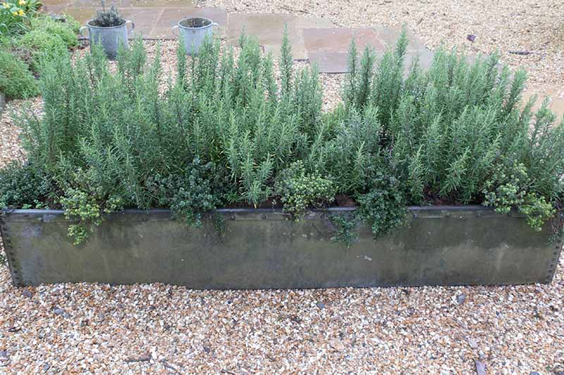 A close up horizontal image of a rectangular planter growing rosemary and thyme set on a gravel surface.