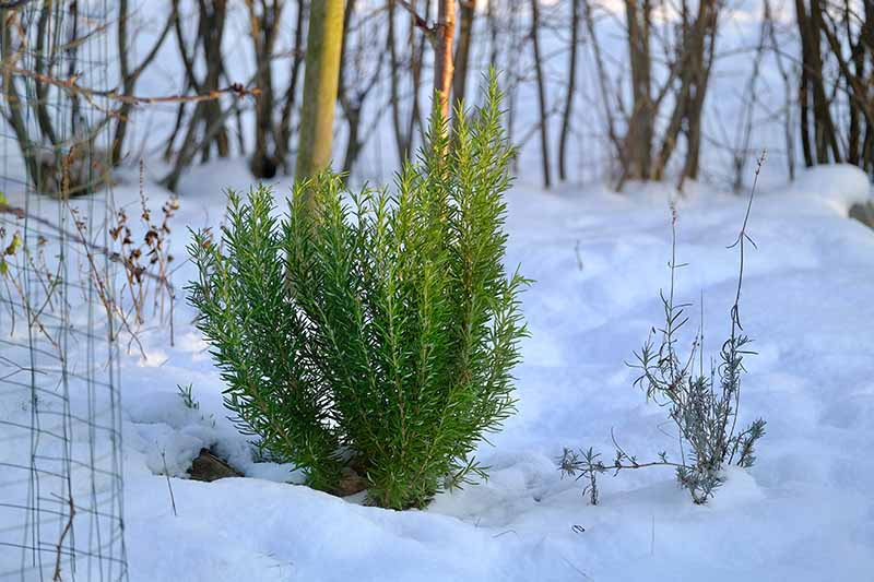 A horizontal image of a snowy landscape with evergreen rosemary growing in front of trees and shrubs.